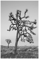 Joshua trees (scientific name: Yucca brevifolia), dusk. Joshua Tree National Park, California, USA. (black and white)
