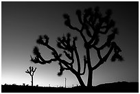 Joshua trees (Yucca brevifolia), sunset. Joshua Tree National Park, California, USA. (black and white)