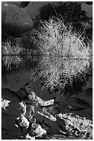 Willows and reflections, Barker Dam, early morning. Joshua Tree National Park ( black and white)
