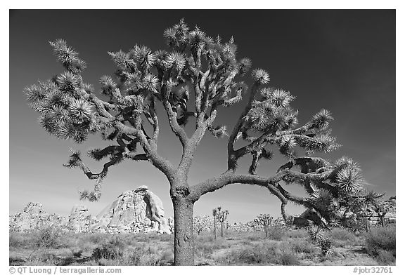 Old Joshua tree (scientific name: Yucca brevifolia). Joshua Tree National Park (black and white)