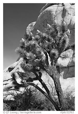 Joshua Tree in bloom and boulders, Hidden Valley Campground. Joshua Tree National Park (black and white)