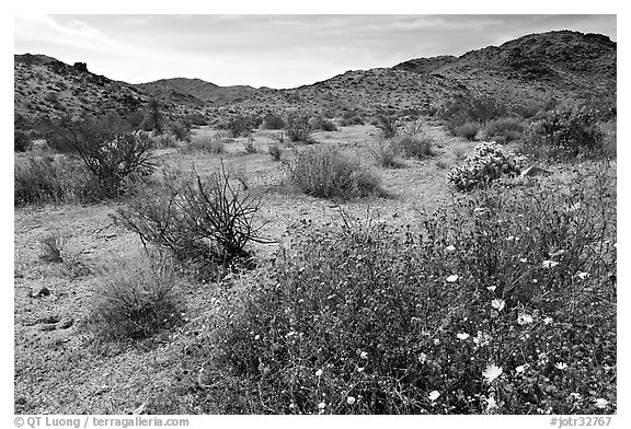 Wildflowers, volcanic hills, and Hexie Mountains. Joshua Tree National Park (black and white)