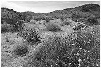 Wildflowers, volcanic hills, and Hexie Mountains. Joshua Tree National Park, California, USA. (black and white)