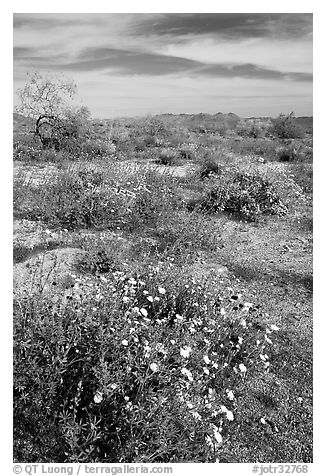 Arizona Lupine, Desert Dandelion, Chia, and Brittlebush, near the Southern Entrance. Joshua Tree National Park (black and white)