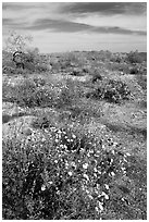Arizona Lupine, Desert Dandelion, Chia, and Brittlebush, near the Southern Entrance. Joshua Tree National Park, California, USA. (black and white)