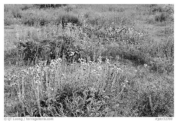 Close-up of flower carpet of Arizona Lupine, Desert Dandelion, Chia, and Brittlebush, near the Southern Entrance. Joshua Tree National Park (black and white)