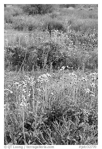 Close-up of wildflower carpet of Arizona Lupine, Desert Dandelion, Chia, and Brittlebush, near the Southern Entrance. Joshua Tree National Park (black and white)