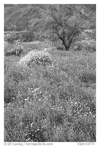 Carpet of Arizona Lupine, Desert Dandelion, and Brittlebush near the Southern Entrance. Joshua Tree National Park (black and white)