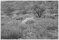 Carpet of Arizona Lupine, Desert Dandelion, and Brittlebush near the Southern Entrance. Joshua Tree National Park, California, USA. (black and white)