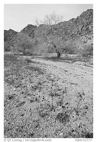 Blue Canterbury Bells and cottonwoods in a sandy wash. Joshua Tree National Park (black and white)
