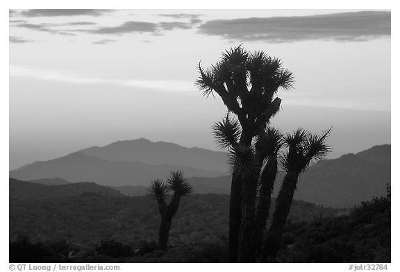 Yucca at sunrise near Keys View. Joshua Tree National Park (black and white)
