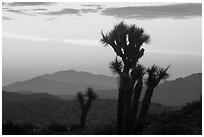 Yucca at sunrise near Keys View. Joshua Tree National Park, California, USA. (black and white)