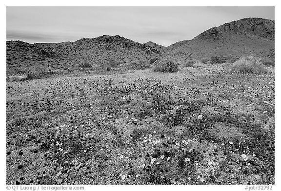 Desert Daisy, Chia flowers, and Hexie Mountains. Joshua Tree National Park (black and white)