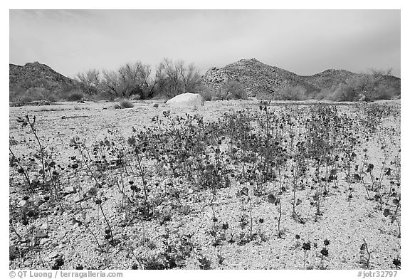Blue Canterbury Bells growing out of a sandy wash. Joshua Tree National Park (black and white)