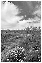 Brittlebush, Desert Dandelion, cottonwoods, and Cottonwood Mountains. Joshua Tree National Park, California, USA. (black and white)