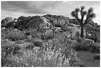 Flowering desert shrub, joshua trees, and rocks. Joshua Tree National Park, California, USA. (black and white)