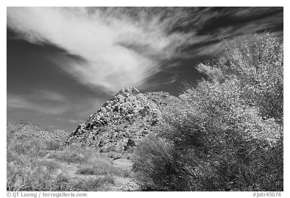 Palo Verde in bloom, rock pile, and cloud. Joshua Tree National Park (black and white)