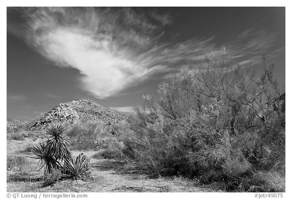 Sandy wash and palo verde in spring. Joshua Tree National Park (black and white)