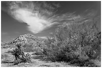 Sandy wash and palo verde in spring. Joshua Tree National Park ( black and white)