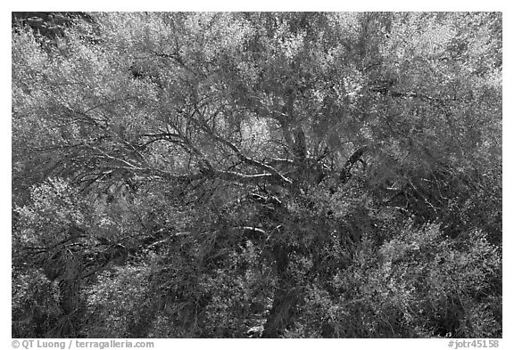 Backlit palo verde. Joshua Tree National Park (black and white)