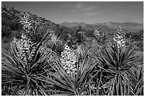 Yuccas in bloom, Black Rock. Joshua Tree National Park ( black and white)