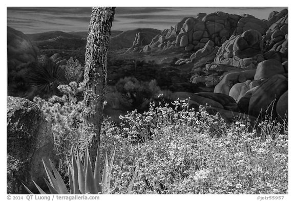 Flowers and mural. Joshua Tree National Park (black and white)