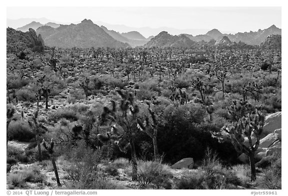 Forest of Joshua trees and distant rocks, Hidden Valley. Joshua Tree National Park (black and white)