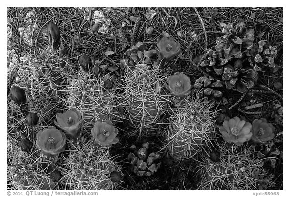 Ground view with pine cones and claret cup cactus in bloom. Joshua Tree National Park (black and white)