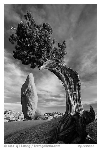 Balanced rock and leaning juniper, Jumbo Rocks. Joshua Tree National Park (black and white)