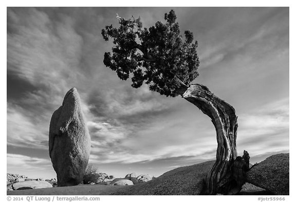 Leaning juniper and pointed monolith. Joshua Tree National Park (black and white)