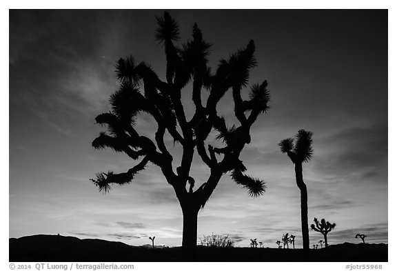 Joshua Trees silhouetted against colorful sunset. Joshua Tree National Park (black and white)