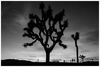 Joshua Trees silhouetted against colorful sunset. Joshua Tree National Park ( black and white)
