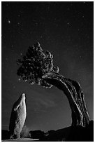 Pointed monolith framed by juniper tree at night. Joshua Tree National Park ( black and white)