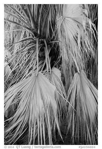 Dried-up palms. Joshua Tree National Park (black and white)