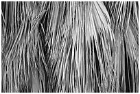 Close-up of dried palm leaves. Joshua Tree National Park ( black and white)