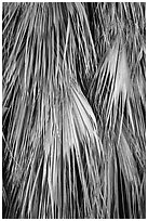 Close-up of dried palms. Joshua Tree National Park ( black and white)