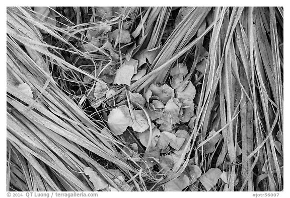 Ground view of fallen palms and cottonwood leaves. Joshua Tree National Park (black and white)
