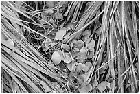 Ground view of fallen palms and cottonwood leaves. Joshua Tree National Park ( black and white)