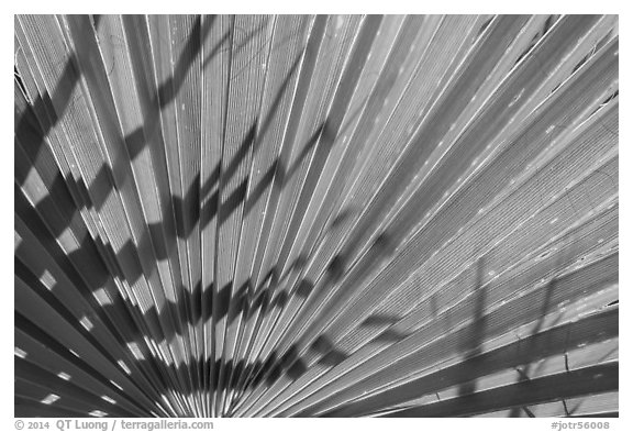 Pattern and shadows in palms. Joshua Tree National Park (black and white)