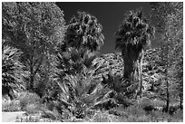 Cottonwoods and palm trees, Cottonwood Spring. Joshua Tree National Park ( black and white)
