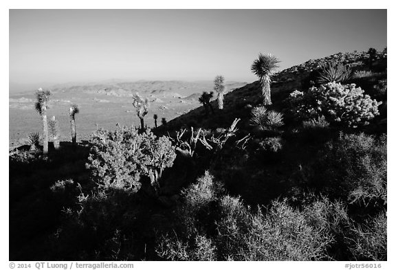 Cactus and yuccas, Ryan Mountain. Joshua Tree National Park (black and white)