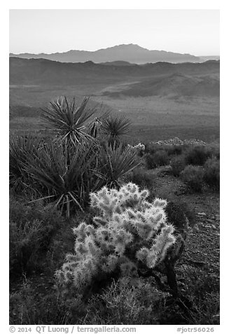 Cholla Cactus, yucca, and San Jacinton Peak, sunset. Joshua Tree National Park (black and white)