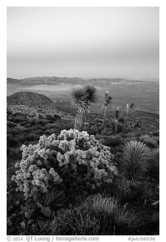 Cholla Cactus, yucca on Ryan Mountain with earth shadow. Joshua Tree National Park (black and white)