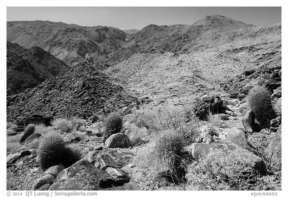 Colorful barrel cacti and Queen Mountains. Joshua Tree National Park (black and white)