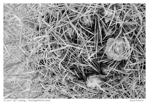 Close-up of barrel cactus bloom and spines. Joshua Tree National Park (black and white)