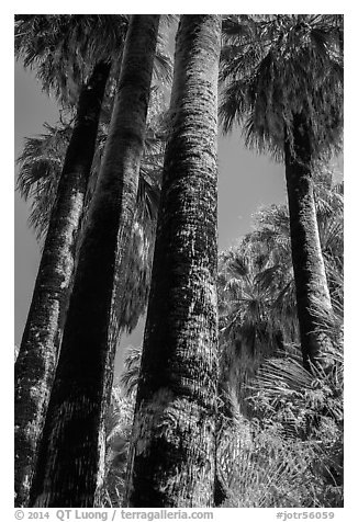 California Fan palms with charred trunks. Joshua Tree National Park (black and white)