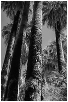 California Fan palms with charred trunks. Joshua Tree National Park ( black and white)