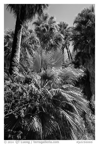 Lush vegetation in 49 Palms Oasis. Joshua Tree National Park (black and white)