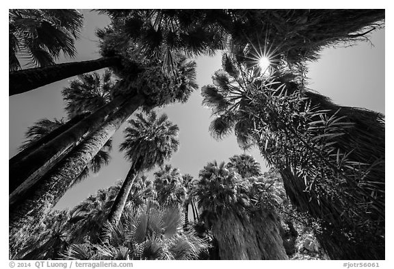 Looking up palm trees in 49 Palms Oasis. Joshua Tree National Park (black and white)