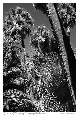 Palms and trunks, Forty-nine palms Oasis. Joshua Tree National Park (black and white)